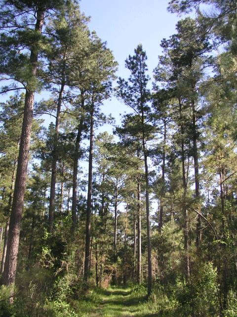 Crossett Experimental Forest in 2006