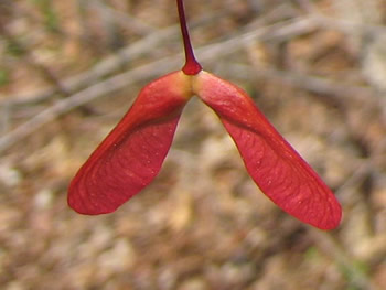 image: seeds of a red maple