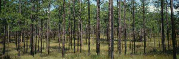 Longleaf pine stand recovered after a burn