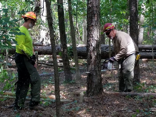 Mark Tanner (left) and Jeff Myers (right), sawyers with the U.S. Forest Service, cut southern pine beetle-invested trees as part of a cut and leave operation on the Bienville Ranger District. (U.S. Forest Service photo by Mario Rossilli)