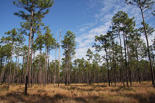 Rare plant habitat on the Apalachicola National Forest